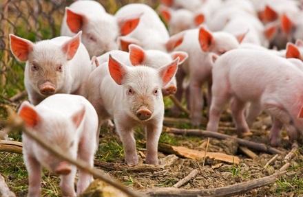 Малый бизнес в деревне свиноводство