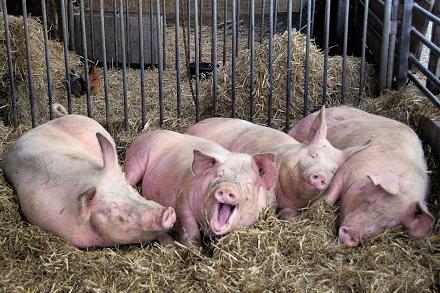 Свиноводство бизнес на селе
