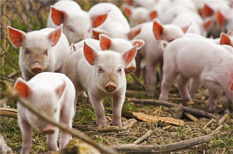 Свиноводство бизнес