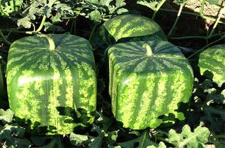 Выращивание овощей необычной формы